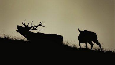 Photo of Torna la stagione degli amori: cosa fare in caso di incontro con un cervo