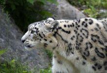 leopardo delle nevi, cashmere