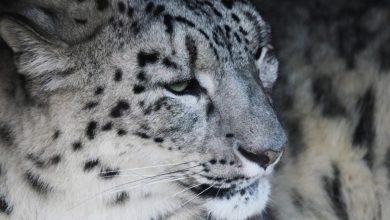 Photo of 10 curiosità da scoprire sul leopardo delle nevi