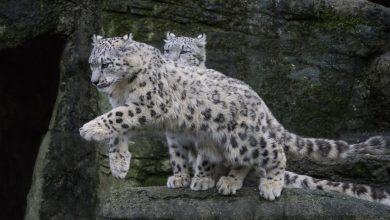 Photo of Il leopardo dagli occhi di ghiaccio, il nuovo libro di Sandro Lovari